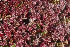 Heuchera Hybride 'Can Can', Purpurglöckchen - Bild vergrößern