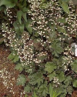 Heuchera Hybride 'Ebony and Ivory', Purpurglöckchen - Bild vergrößern