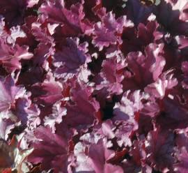 Heuchera Hybride 'Forever Purple'®, Purpurglöckchen - Bild vergrößern