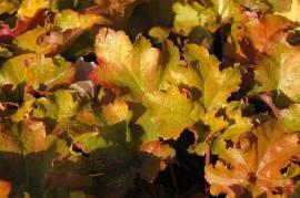 Heuchera Hybride 'Amber Waves', Purpurglöckchen - Bild vergrößern