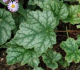 Heuchera Hybride 'Mint Frost'®, Purpurglöckchen - Bild vergrößern