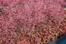 Heuchera micrantha 'Rachel', Purpurglöckchen - Bild vergrößern