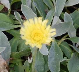 Hieracium pilosella 'Niveum', Habichtskraut - Bild vergrößern