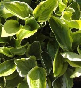 Hosta Hybride 'Golden Tiara', Funkie - Bild vergrößern