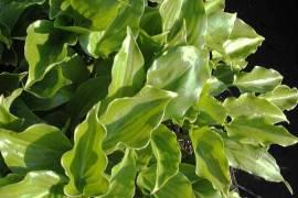 Hosta Hybride 'Invincible', Funkie - Bild vergrößern