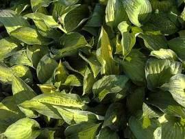 Hosta Hybride 'Pauls Glory', Funkie - Bild vergrößern