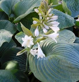 Hosta Hybride 'Bressingham Blue', Funkie - Bild vergrößern