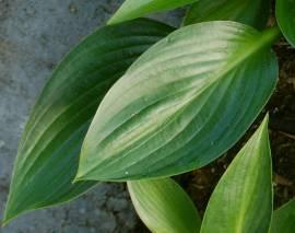 Hosta Hybride 'Devon Green', Funkie - Bild vergrößern