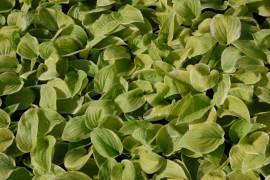 Hosta 'Fragrant Bouquet', Funkie - Bild vergrößern