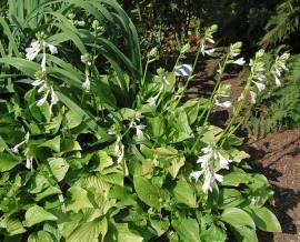 Hosta Plantaginea Hybr. 'Royal Standard' - Bild vergrößern