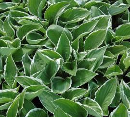 Hosta crispula, lila blühend Weißrandfunkie - Bild vergrößern