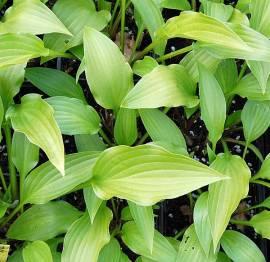 Hosta lancifolia, Funkie - Bild vergrößern