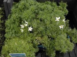 Hottonia palustris, Wasserfeder - Bild vergrößern