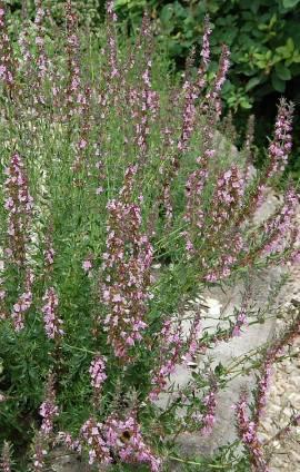 Hyssopus officinalis, rosa Ysop - Bild vergrößern