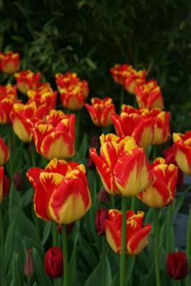 Darwin Hybriden Tulpen 'Banja Luka' - Bild vergrößern