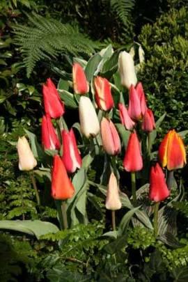 Botanische Greigii Tulpen 'Princess Charmante' - Bild vergrößern