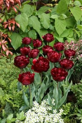 Gefüllte späte Tulpen 'Uncle Tom' - Bild vergrößern