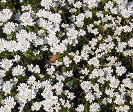 Iberis sempervirens 'Zwergschneeflocke', Schleifenblume - Bild vergrößern