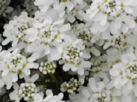 Iberis sempervirens 'Snowflake', Schleifenblume - Bild vergrößern