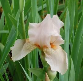 Schwertlilie, Iris barbata-Elatior-Hybride 'Constance Wattez' - Bild vergrößern