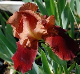 Iris barbata-Elatior-Hybride 'Natchez Trace', Schwertlilie - Bild vergrößern