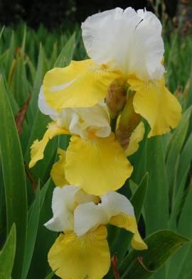 Iris barbata-Elatior-Hybride 'Tulip Festival', Schwertlilie - Bild vergrößern