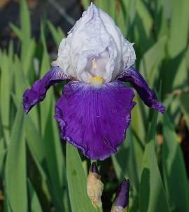 Iris barbata-Elatior-Hybride 'Aperge', Schwertlilie - Bild vergrößern