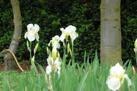 Iris barbata-Elatior-Hybride 'Lugano', Schwertlilie - Bild vergrößern
