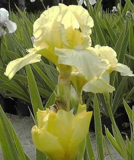 Schwertlilie, Iris barbata-Media-Hybride 'Maui Moonlight' - Bild vergrößern