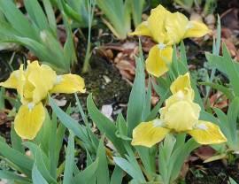 Zwerg - Schwertlilie, Iris barbata-Nana 'Baria' - Bild vergrößern