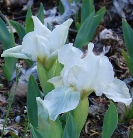 Zwerg - Schwertlilie, Iris barbata-Nana 'Lilly White' - Bild vergrößern