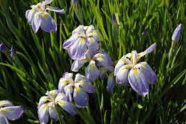 Iris kaempferi (ensata) 'Aquamarin', Japanische Sumpfiris - Bild vergrößern