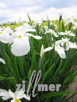 Iris kaempferi (ensata) 'Diamant' Japanische Sumpfiris - Bild vergrößern