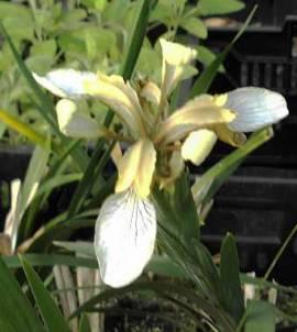 Iris foetidissima Schwertlilie - Bild vergrößern