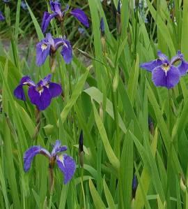 Schwertlilie, Iris setosa - Bild vergrößern