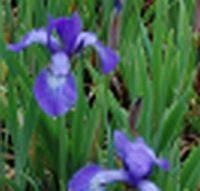 Sibirische Schwertlilie, Wiesenschwertlilie, Iris sibirica 'Annick' - Produktbild