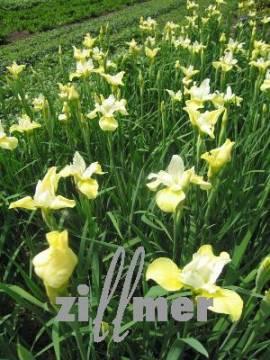Iris sibirica 'Butter and Sugar',Sibirische Schwertlilie, Wiesenschwertlilie - Bild vergrößern
