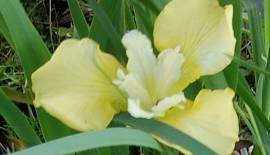 Iris sibirica 'Welfenfürstin', Sibirische Schwertlilie, Wiesenschwertlilie - Bild vergrößern