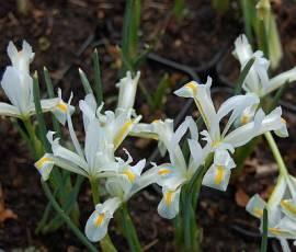 Iris reticulata 'Natascha' Zwerg Iris - Bild vergrößern