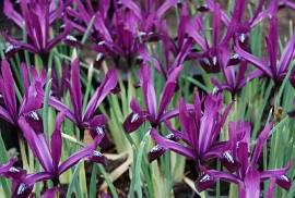 Iris reticulata 'Purple Gem' Zwerg Iris - Bild vergrößern