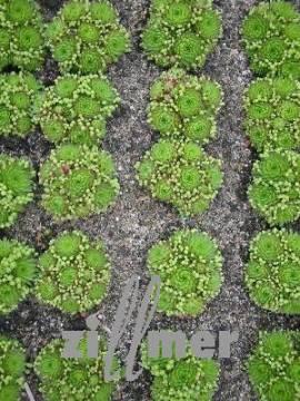Jovibarba globifera ssp. allionii, Kugeliger Wirbel-Steinwurz - Bild vergrößern
