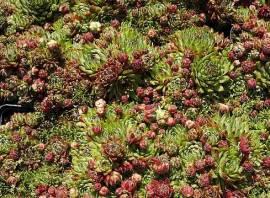 Jovibarba sobolifera 'Atropurpurea', Kugeliger Wirbel-Steinwurz - Bild vergrößern