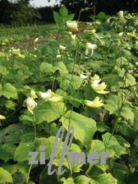 Kirengeshoma koreana, koreanische Wachsblume - Bild vergrößern