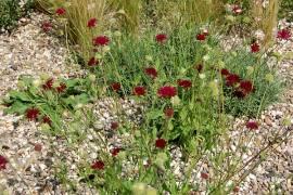 Knautia macedonica, Witwenblume - Bild vergrößern