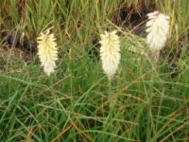 Kniphofia Hybride 'Ice Queen' Fackellilie - Bild vergrößern
