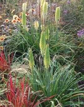 Kniphofia Hybride 'Little Maid' Fackellilie - Bild vergrößern
