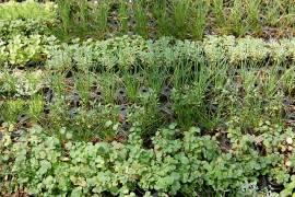 Sortiment Dachbegrünung Kräuter, Gräser, 50 Stück - Bild vergrößern