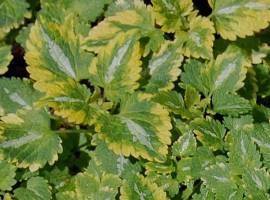 Lamium maculatum 'Anne Greenaway', Taubnessel - Bild vergrößern