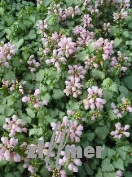 Lamium maculatum 'Pink Pewter', Taubnessel - Bild vergrößern