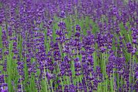 Lavandula angustifolia, Lavendel - Bild vergrößern
